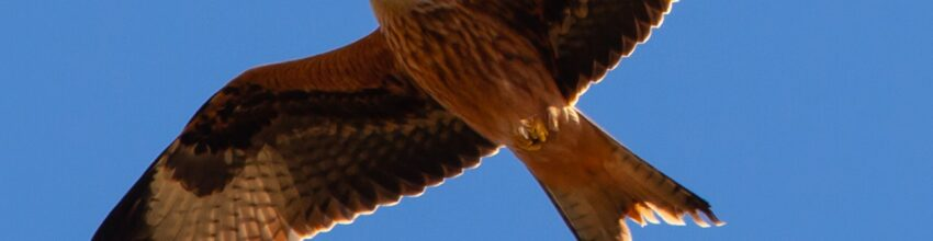 This month is the 30th Anniversary of the re-introduction of red kites to southern England